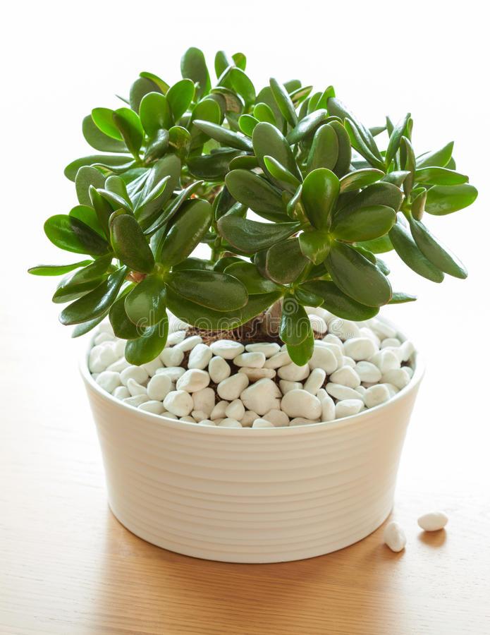 Houseplant Crassula ovata jade plant money tree in white pot royalty free stock photos