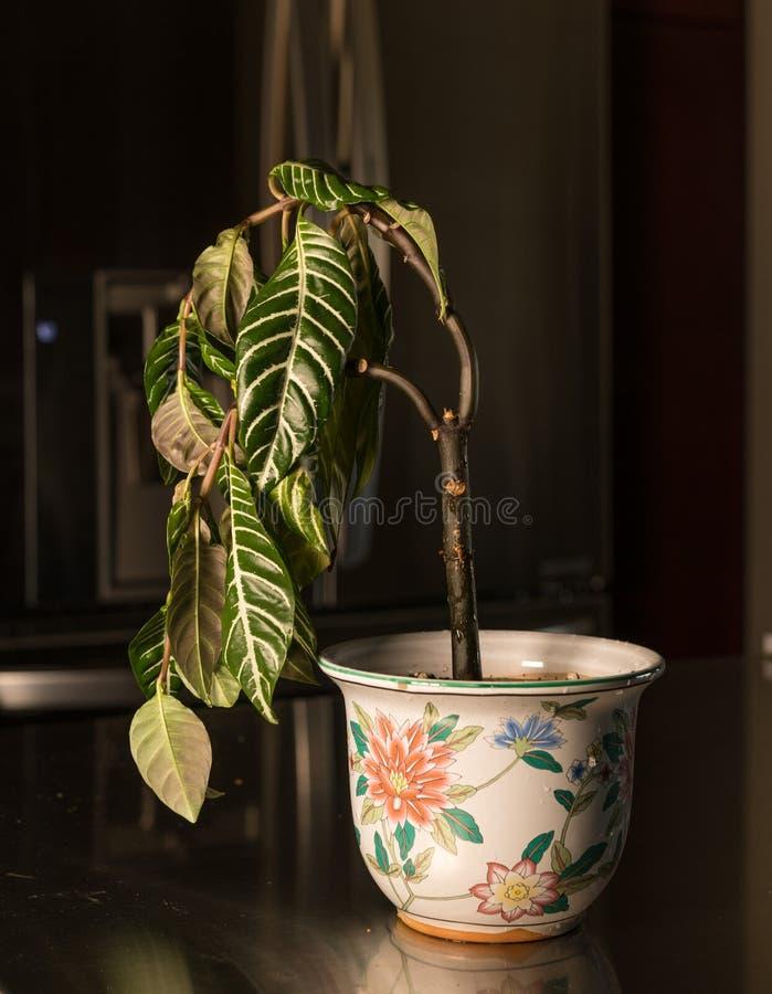 Houseplant de inclinação no vaso da cerâmica foto de stock royalty free