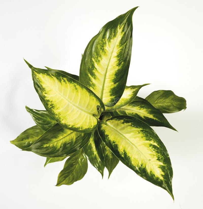 Houseplant del Dieffenbachia stock de ilustración