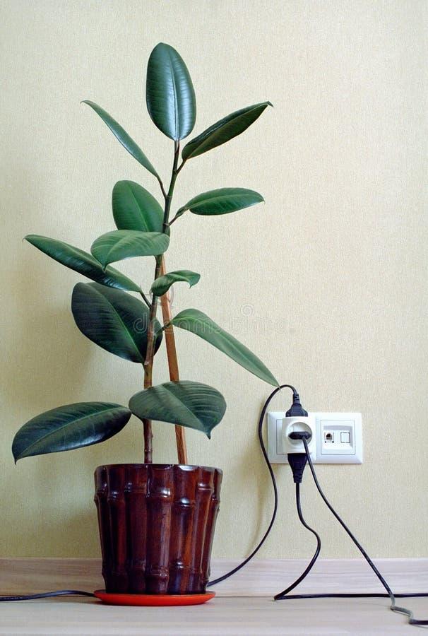 Houseplant di gomma indiano nella casa fotografie stock libere da diritti