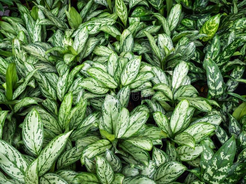 Houseplant Dieffenbachia Molte piante nella serra immagine stock