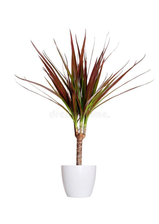 Houseplant - Dracaena marginata eine Topfpflanze lokalisiert über whi stockfotos