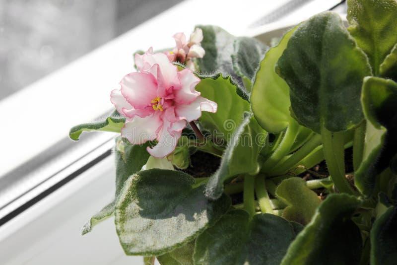 Houseplant em um potenciômetro Violeta perto da janela foto de stock