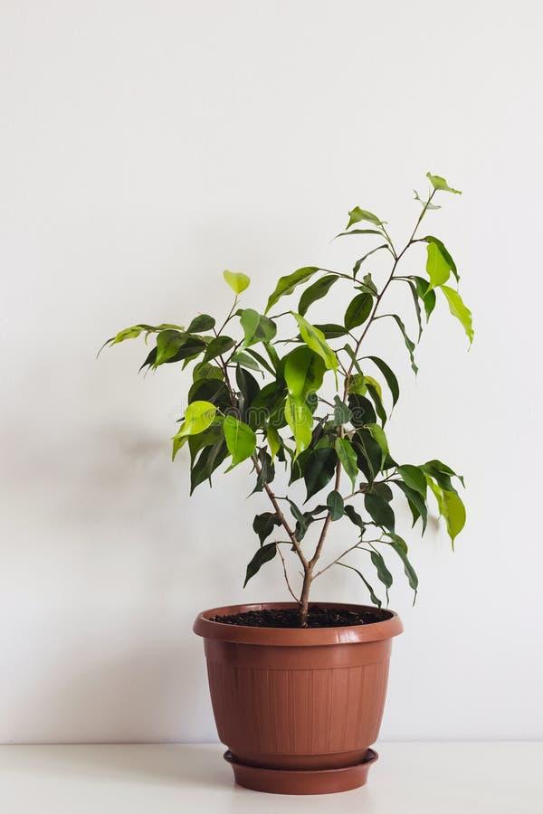 Houseplant en conserva de benjamin de los ficus en la tabla blanca Interior escandinavo de la planta foto de archivo