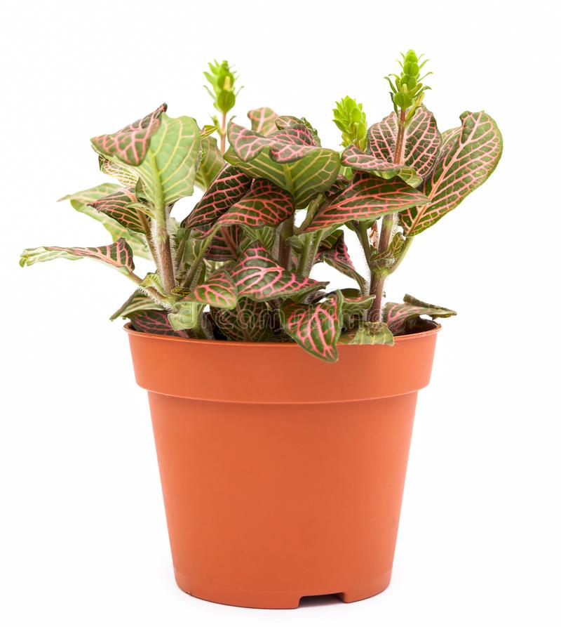 Houseplant fittonia. Shot of small houseplant fittonia royalty free stock images