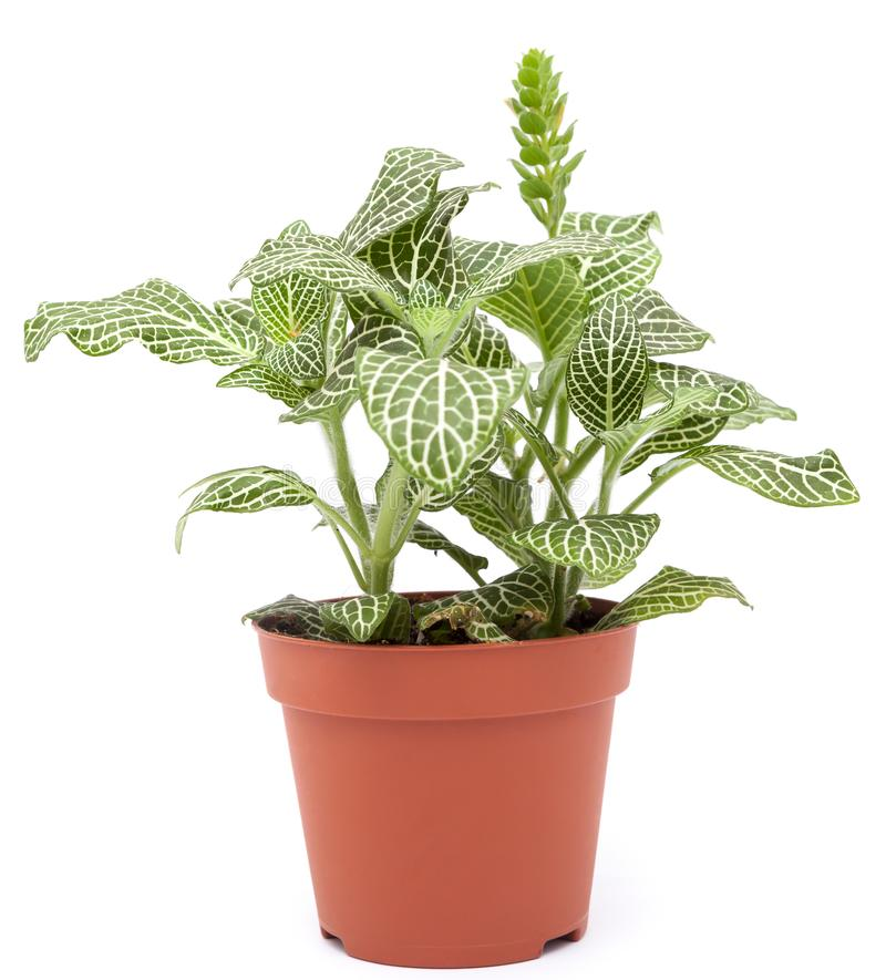 Houseplant fittonia. Shot of small houseplant fittonia royalty free stock image