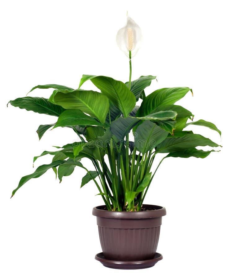 Houseplant - floribundum di Spathiphyllum fotografia stock libera da diritti
