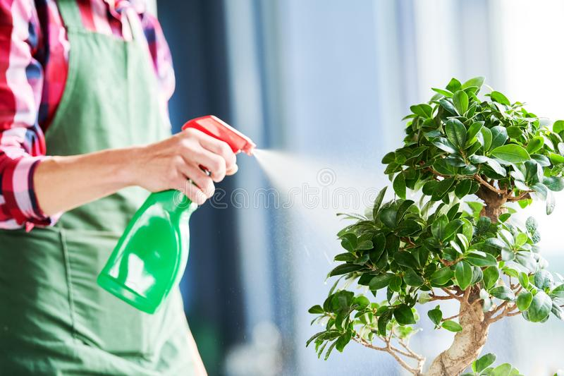 Bonsai care and tending houseplant growth. Watering small tree. stock photo