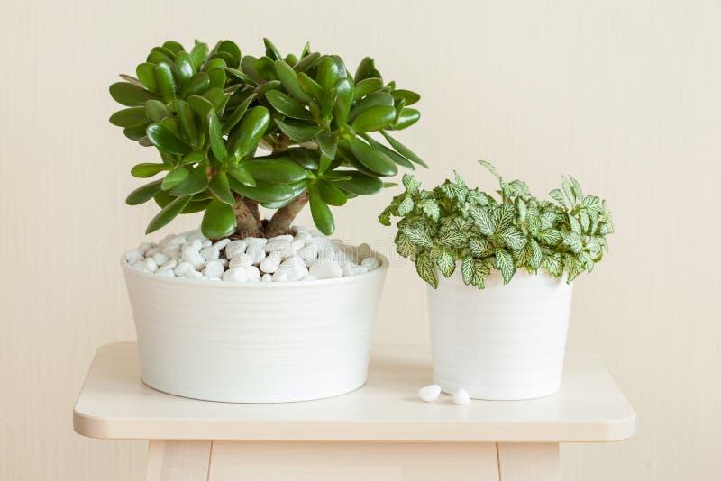 Houseplant grubosza ovata chabeta rośliny pieniądze drzewo wewnątrz i fittonia obraz stock