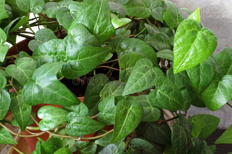 Houseplant i en kruka t?t gr?n v?xt upp royaltyfri bild
