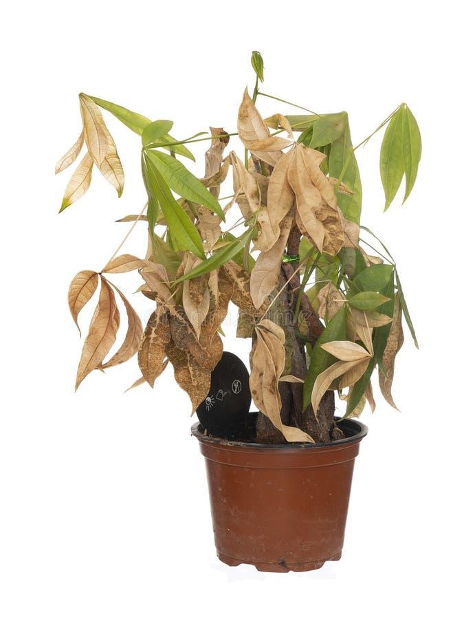 Houseplant inoperante e seco no potenciômetro isolado no fundo branco Era aquatica de Pachira, aka árvore do dinheiro fotos de stock