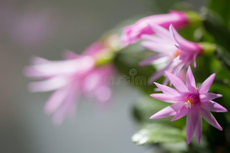 Houseplant med rosa blommor royaltyfri foto