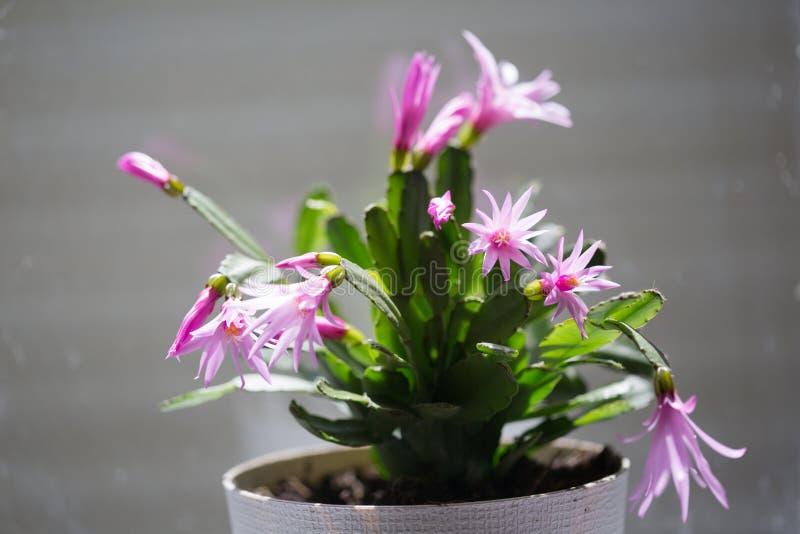 Houseplant med rosa blommor arkivfoton