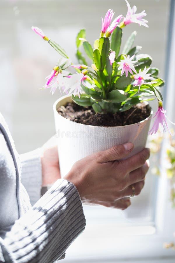 Houseplant med rosa blommor arkivbilder