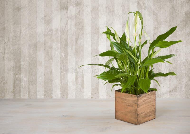 Houseplant op houten lijst over de achtergrond van de grungemuur royalty-vrije stock afbeeldingen