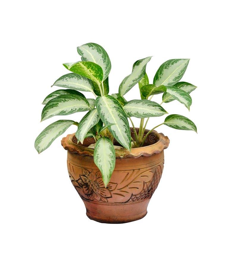 Houseplant in POT fotografia stock