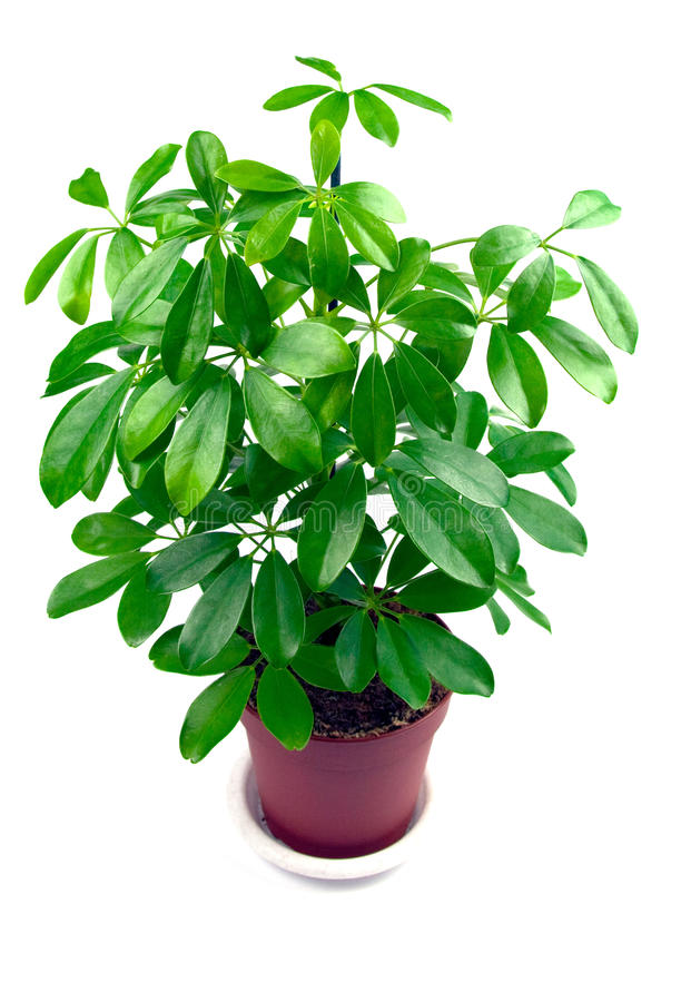 Houseplant Schefflera royalty-vrije stock foto's