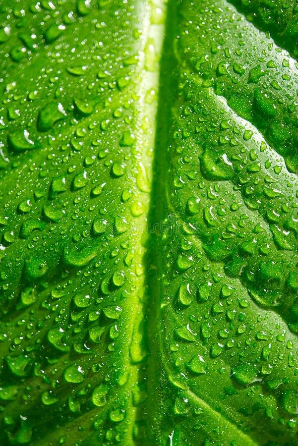 Houseplant - Spathiphyllum floribundum - Peace Lily Les gouttelettes d'eau sur les feuilles vertes avec un focus sélectif Eau image stock