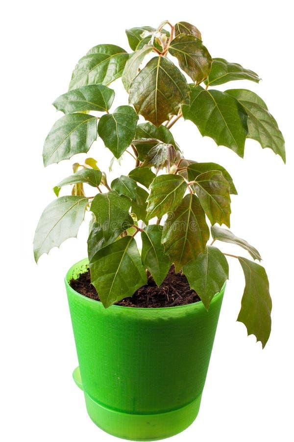 Houseplant un rhombifolia del cissus imagen de archivo