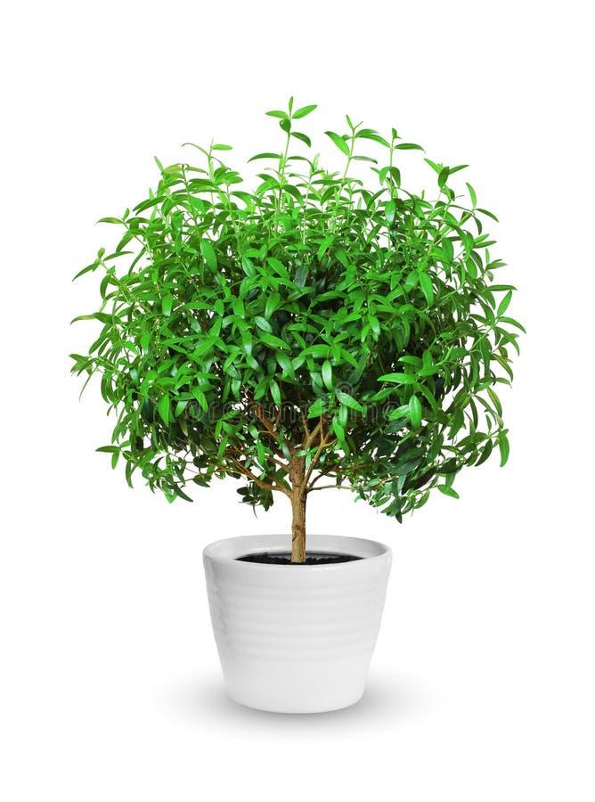 Houseplant - Yang mirt doniczkowa roślina odizolowywająca nad bielem obraz royalty free