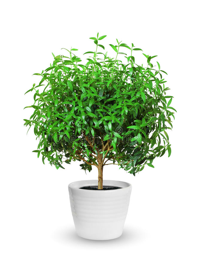 Houseplant - yang myrtle a potted plant isolated over white royalty free stock image