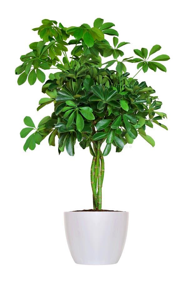 Houseplant - yang Schefflera en inlagd växt som isoleras över vit arkivfoto