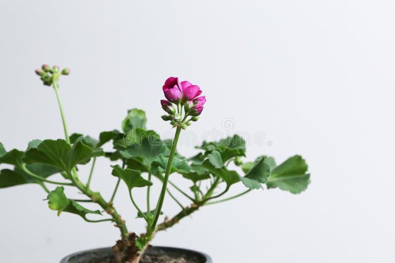 Houseplantgeranium met roze knoppen in een bruine pot royalty-vrije stock afbeeldingen