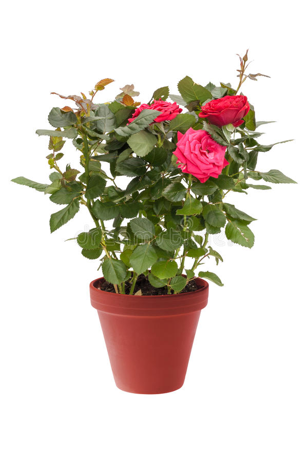 Houseplantkortkortet steg med röda blommor i en brun kruka som isolerades på vit bakgrund arkivbild