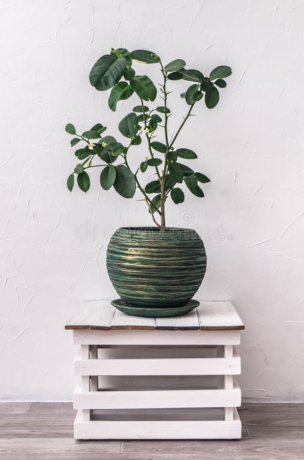 houseplants: blossoming lemon in a green pot against royalty free stock photography