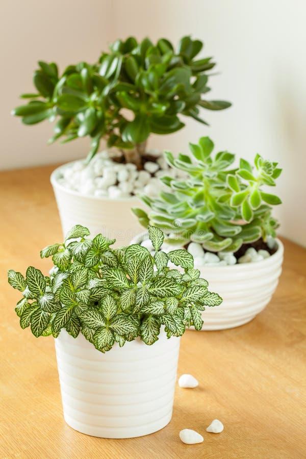 Houseplants fittonia albivenis, grubosza ovata, echeveria w whi fotografia stock