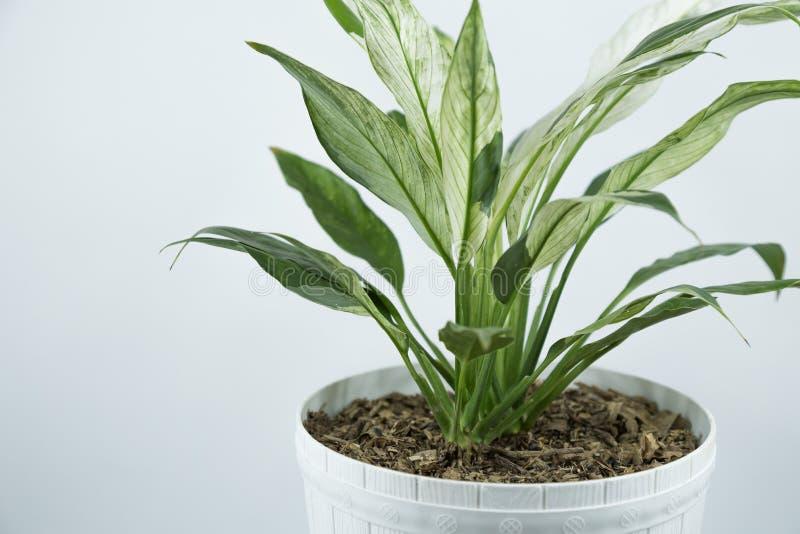 Houseplants nos vasos de flores do branco em uma tabela perto da parede branca brilhante imagens de stock royalty free