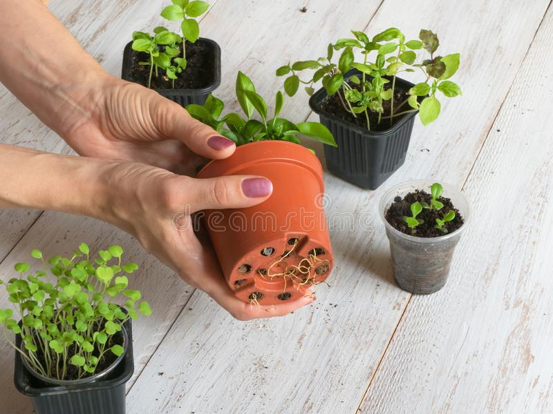 Houseplants roots begin to appear through the bottom of the pot. Transplanting plants stock photos
