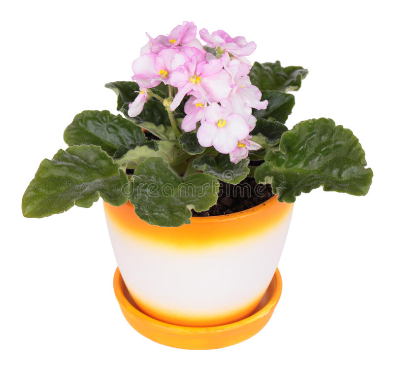 Download Violeta imagem de stock. Imagem de florescer, home, nave - 29832663