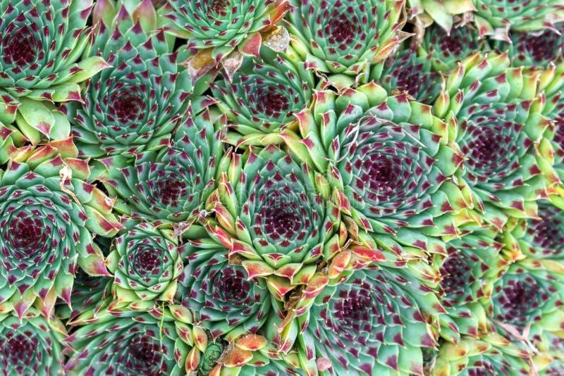 Housleek oder semprevivum im Gartenhintergrund, Beschaffenheit lizenzfreie stockbilder
