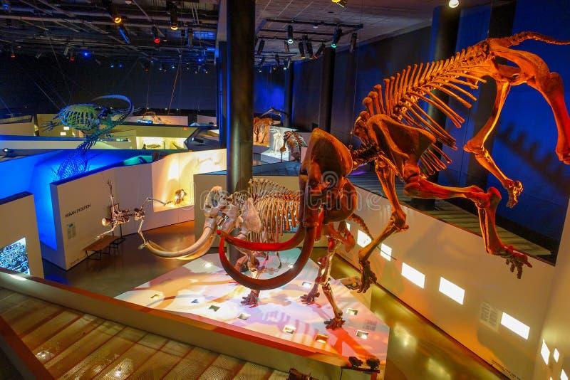 HOUSTON, EUA - 12 DE JANEIRO DE 2017: Fóssil de uma exposição gigantesca enorme no Museu Nacional da ciência natural dentro foto de stock royalty free