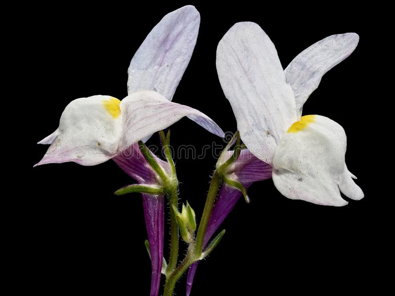 TX Wild Flowers White with Dark Background royalty free stock images