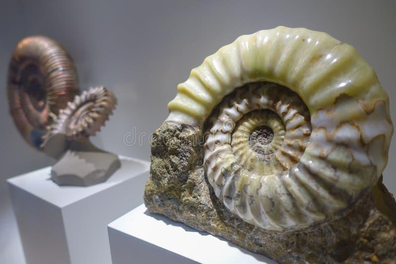 HOUSTON, usa - STYCZEŃ 12, 2017: Fosilized seashell amonites ekspozycja nad białą bazą w muzeum narodowym Naturalny, zdjęcia royalty free