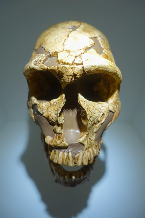 HOUSTON, usa - STYCZEŃ 12, 2017: Zamyka up czaszka w muzeum narodowym Naturalna nauka w Orlando Houston w usa, wewnątrz obraz royalty free