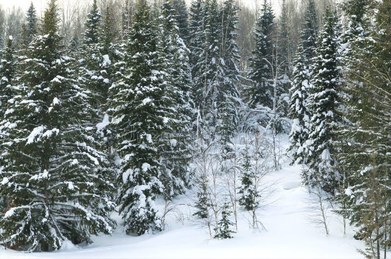 Hout in de winter in Rusland Siberië stock afbeeldingen