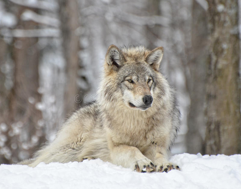 Hout Wolf On Guard stock foto's