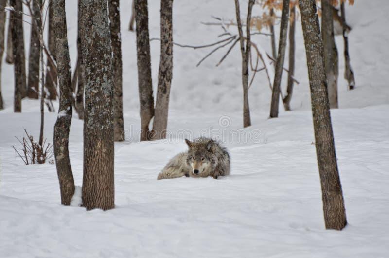 Hout Wolf Sleeping royalty-vrije stock afbeeldingen