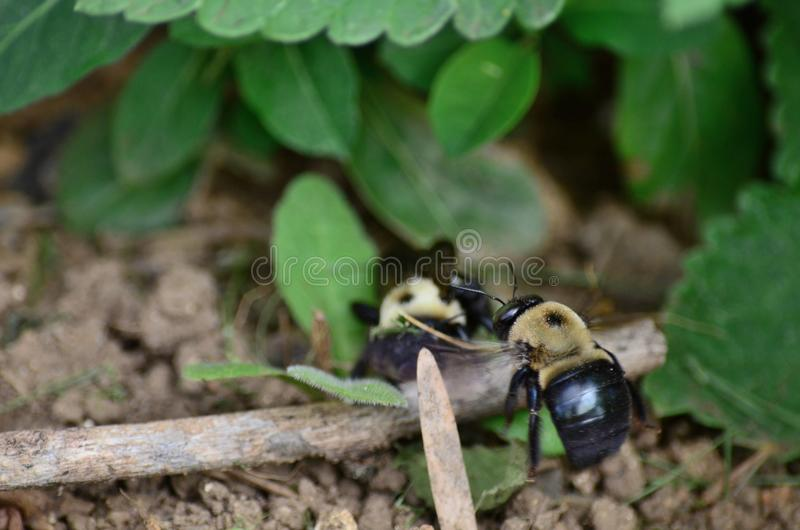 Houtbijenaka droeg bijen royalty-vrije stock afbeelding
