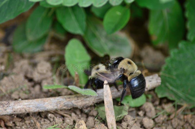 Houtbijenaka droeg bijen royalty-vrije stock foto's