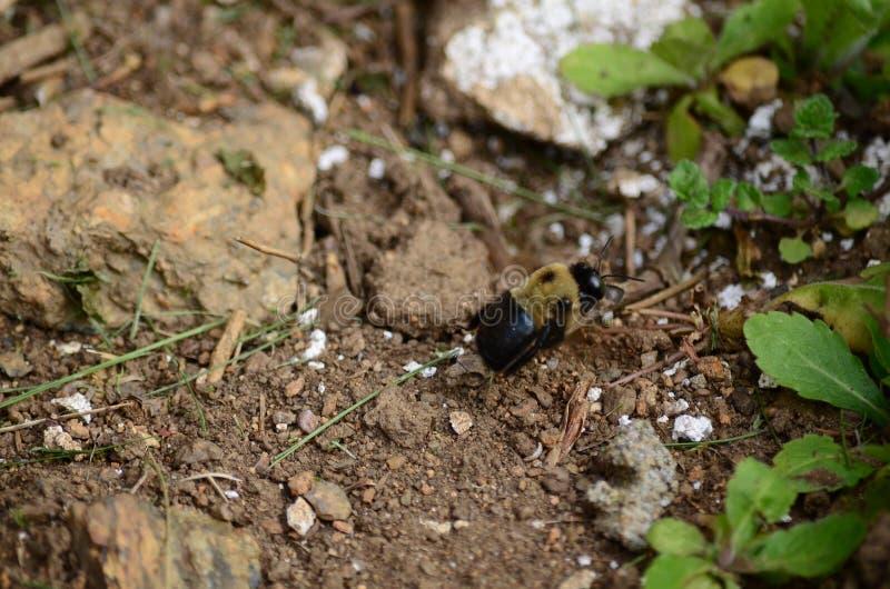 Houtbijenaka droeg bijen royalty-vrije stock foto