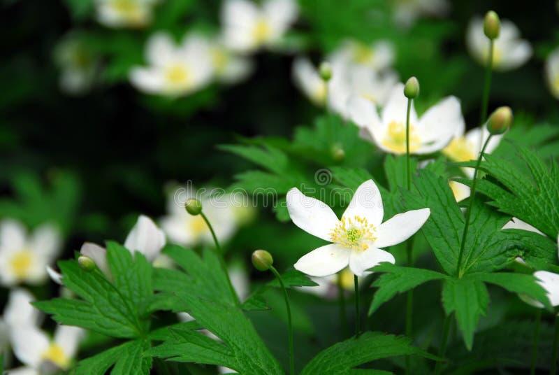 Houten anemonen royalty-vrije stock fotografie