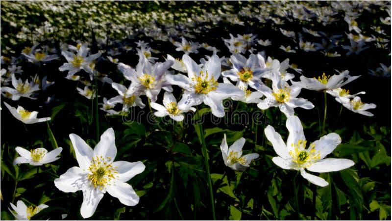 Houten anemonen op een gebied stock afbeeldingen