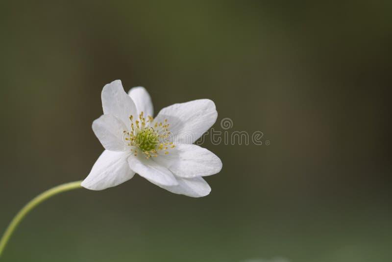 Houten anemoon stock afbeelding