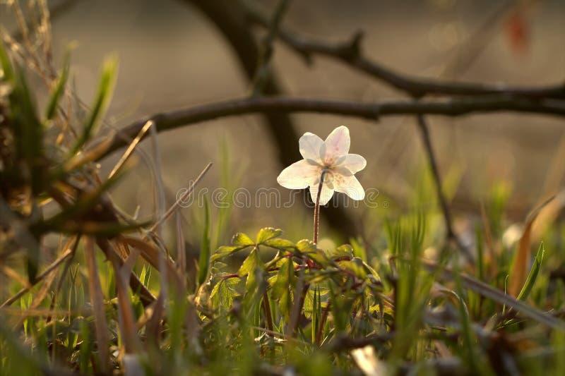 Houten Anemoon (anemoonnemorosa) Stock Foto