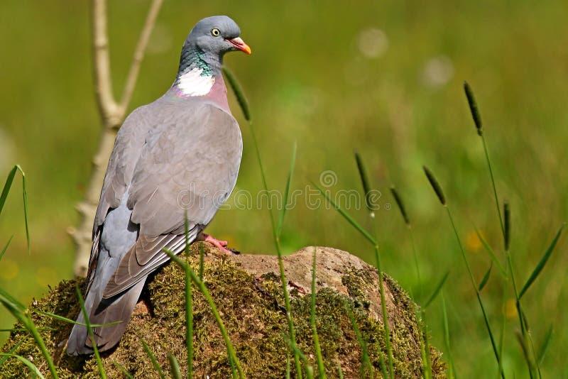 Download Houten Die Duif Op Rots Wordt Neergestreken Stock Foto - Afbeelding bestaande uit ornithologie, single: 54089160
