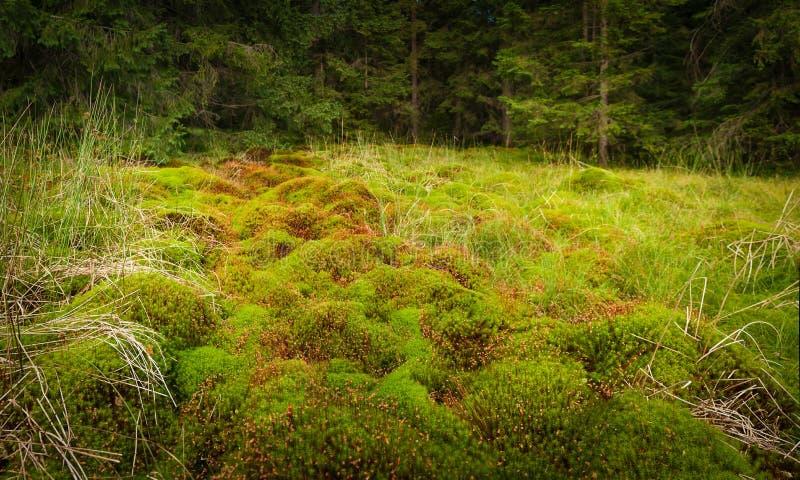 Houten diep mos in het bos Groene mos in de Karpaten stock afbeeldingen